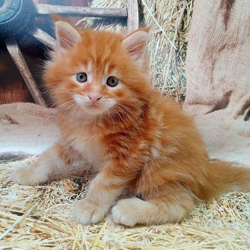 630 Nikolas  Maine Coon male kitten