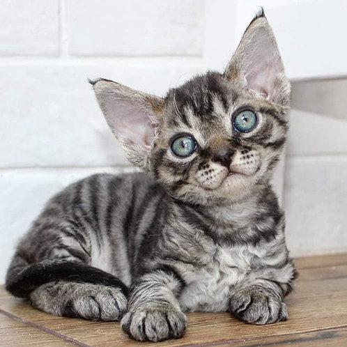 627 Cosmo  male kitten Devon Rex