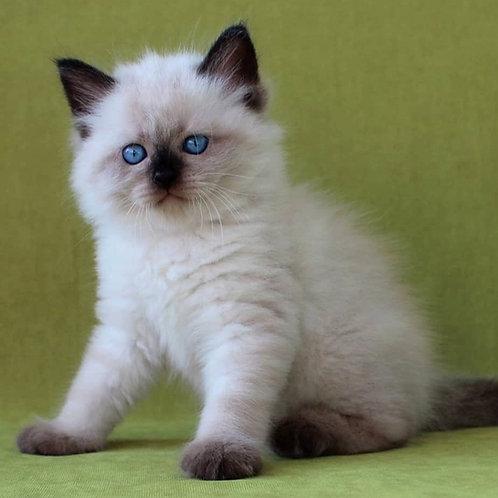 199 Flash      Siberian male kitten