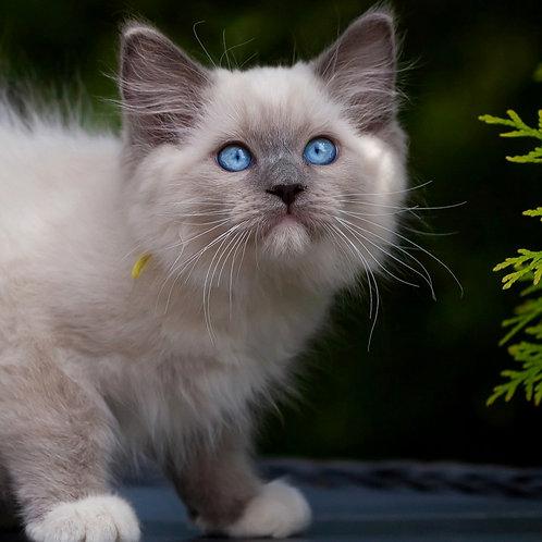 249 Amigo    Ragdoll male kitten
