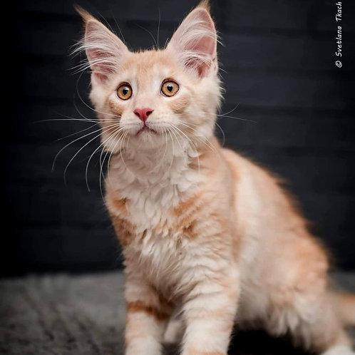 575 Joker  Maine Coon male kitten