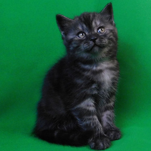 423 Hunter    Scottish straight shorthair male kitten