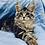 Thumbnail: 822 Eva Maine Coon female kitten
