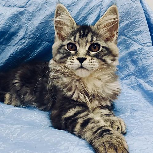 822 Eva Maine Coon female kitten