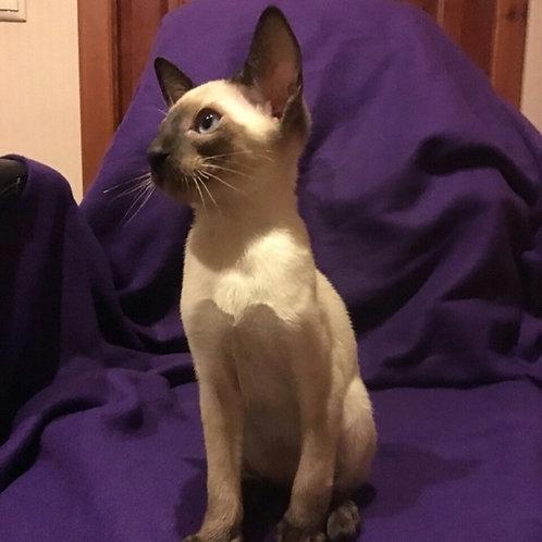 Benjamin Oriental male kitten