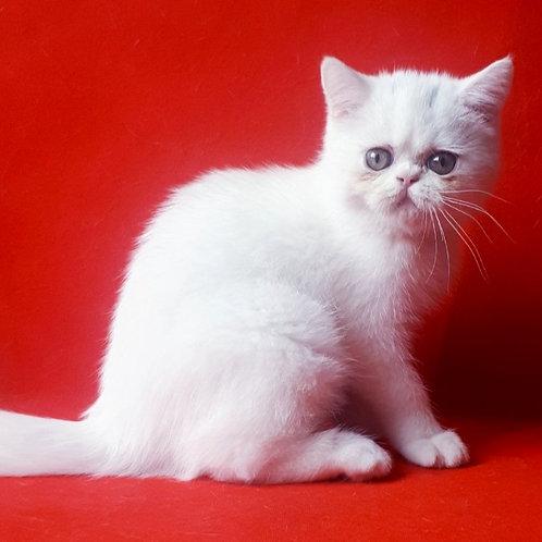 66 Brovko   Exotic shorthair male kitten