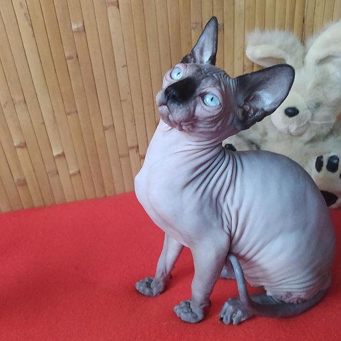Sambuka female Sphinx kitten