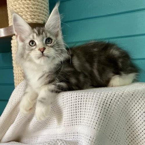 497 Manuel Maine Coon male kitten
