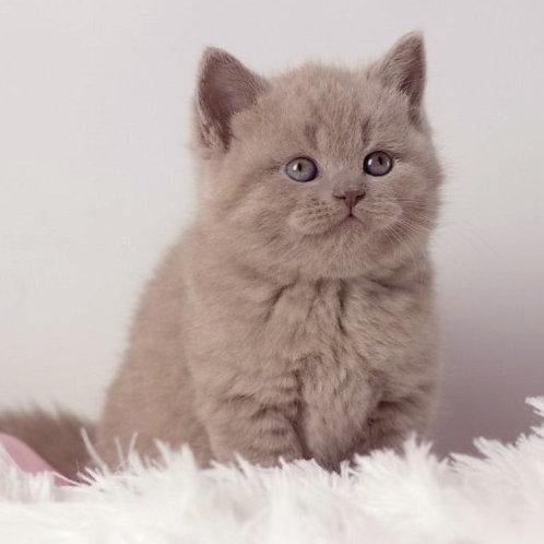26 Apollon  British shorthair male kitten