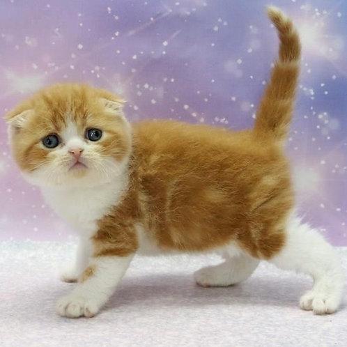 655 Barberry   Scottish fold shorthair male kitten
