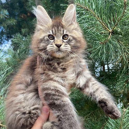 765 Latif  Maine Coon male kitten