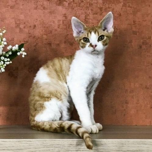 359 King    male kitten Devon Rex