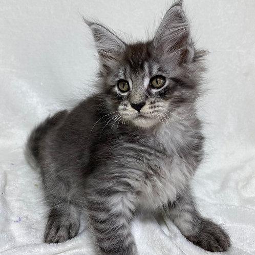 659 Premium  Maine Coon male kitten