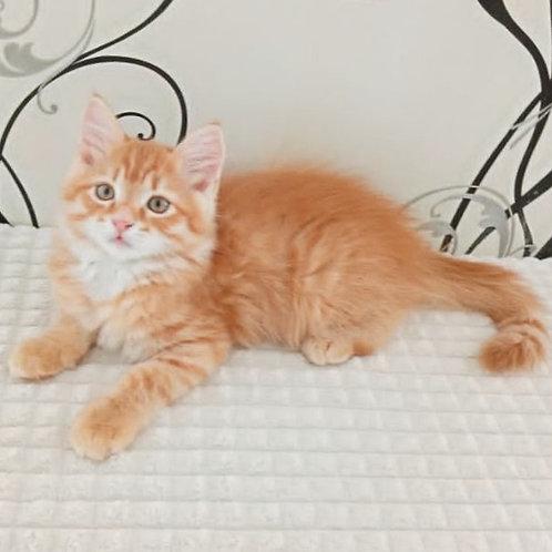 165 Balu     Siberian male kitten