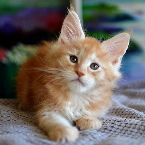 380 Fiesta   Maine Coon female kitten