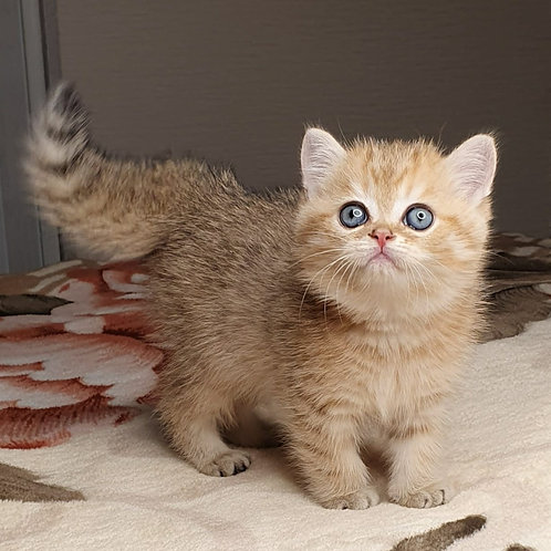 417 Saymon British shorthair male kitten