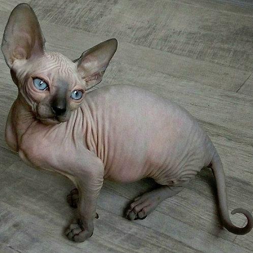 Berta female Sphinx kitten