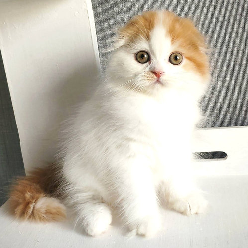 989 Winston  Scottish fold longhair male kitten
