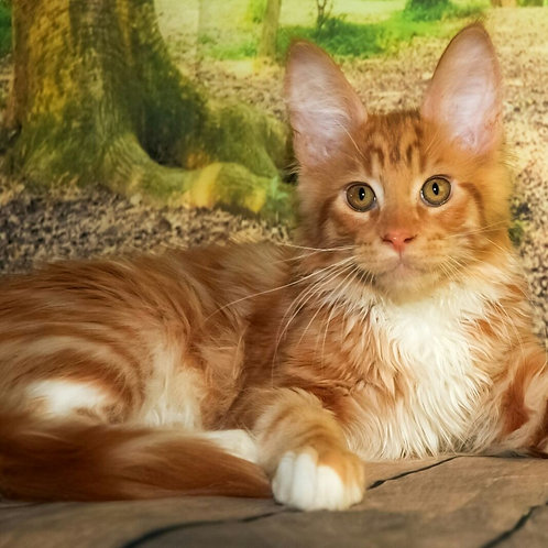 Harley  Maine Coon male kitten