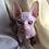 Thumbnail: 138 Burry  male Sphinx kitten