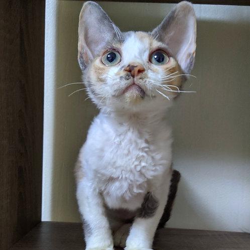 317 Bulochka female kitten Devon Rex
