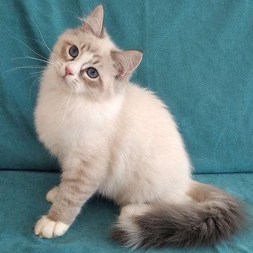 226 Macho    Siberian male kitten