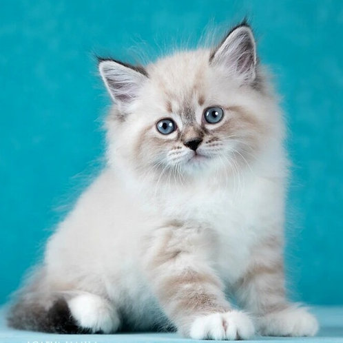 146 Garfield     Siberian male kitten