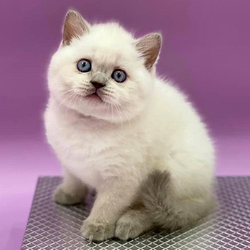 575 Gianluigi  Scottish straight shorthair male kitten