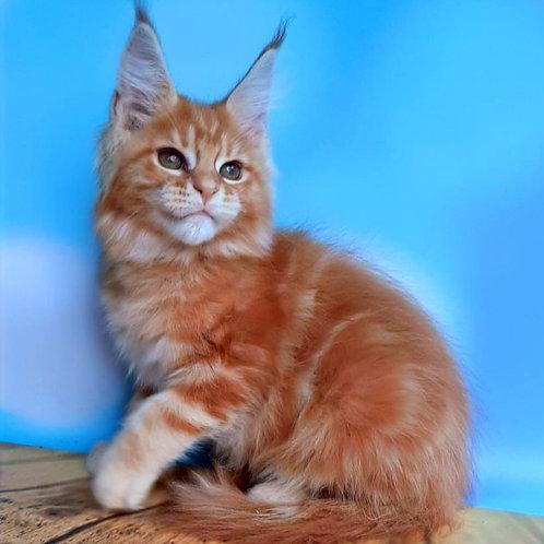 683 Casper Maine Coon male kitten