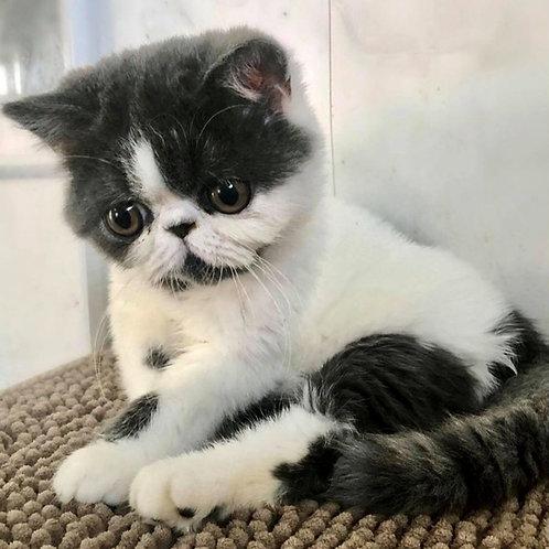 204 Bandit   Exotic  male kitten