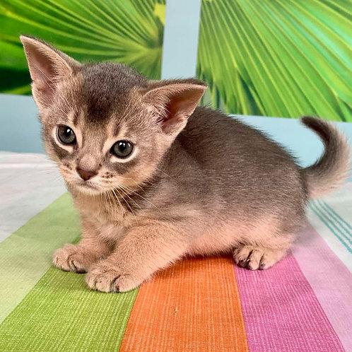 283 X-men   purebred Abyssinian male kitten