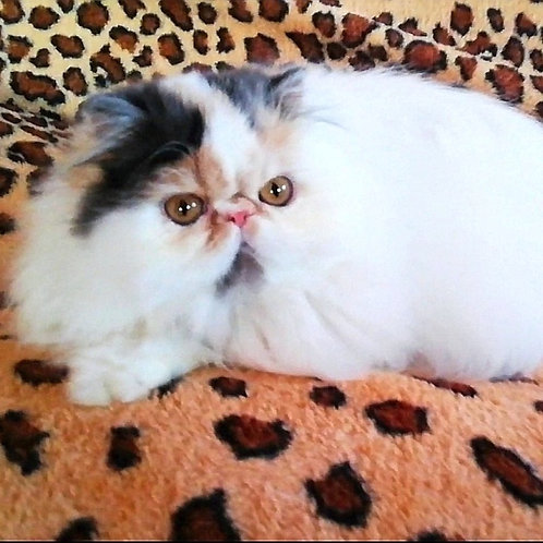 32 Eva Persian  female kitten
