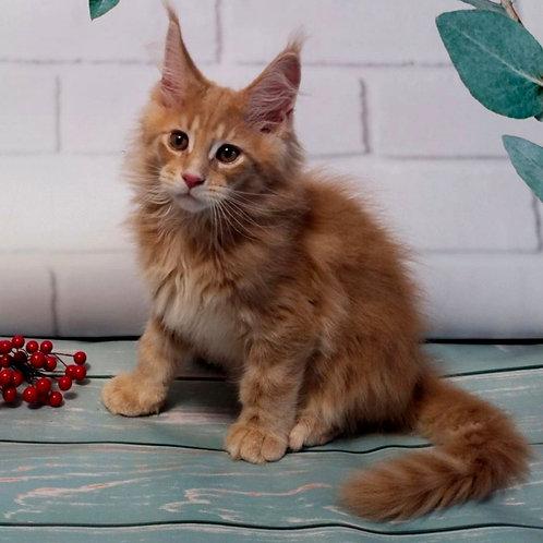 653 Dallas  Maine Coon male kitten