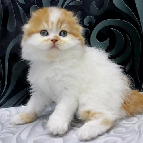 820 Fistashka   Scottish fold longhair female kitten