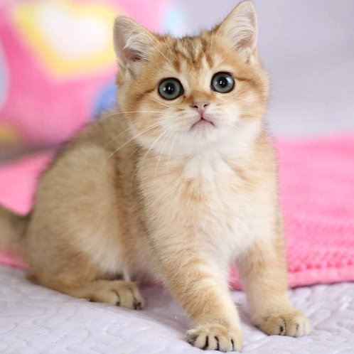 2 Tealia  British shorthair female kitten