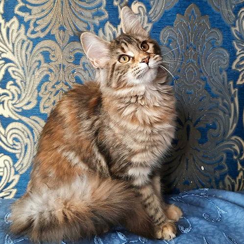 365 Frida    Maine Coon female kitten