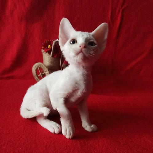 Iglesias male kitten Devon Rex