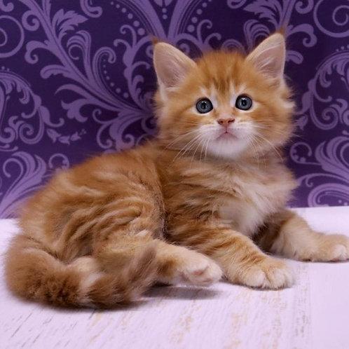 Boniface Maine Coon male kitten