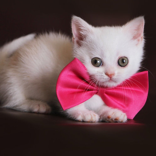 356 Odeville  Munchkin female kitten