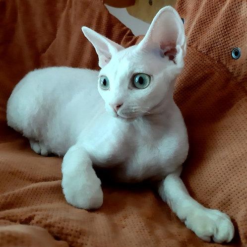 607 Sonia  female kitten Devon Rex
