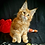 Thumbnail: 263 Genry  Maine Coon male kitten