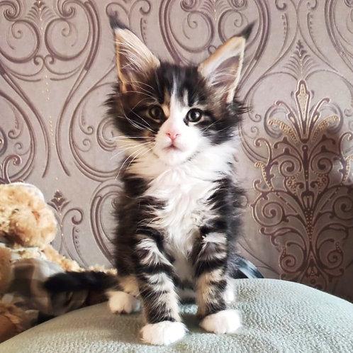 115 Avea       Maine Coon female kitten