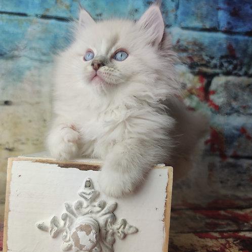585 Wynton  Ragdoll male kitten