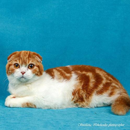 418 Vatson   Scottish fold shorthair male kitten