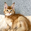 Thumbnail: 831 Goliat  Maine Coon male kitten