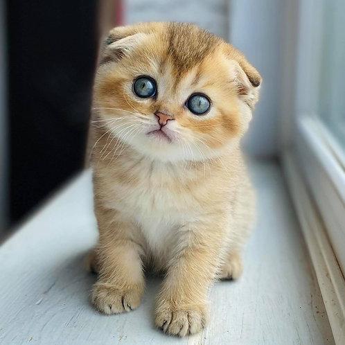 603 Tom   Scottish fold shorthair male kitten