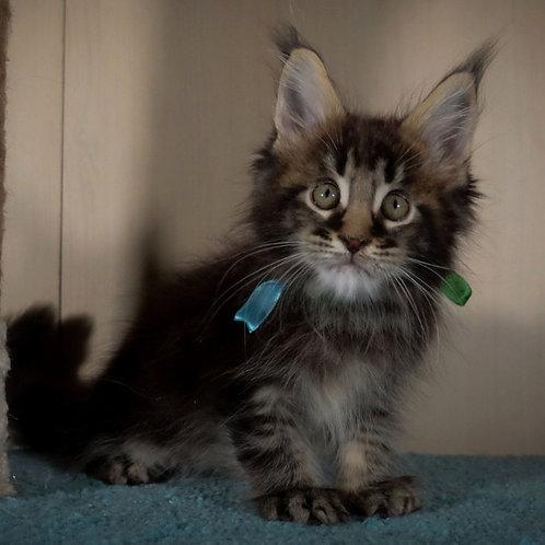 404 Merlin  Maine Coon male kitten
