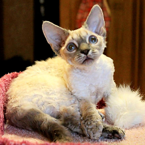 401 Chanel #1 female kitten Devon Rex