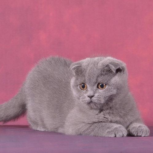 Molly Scottish fold shorthair female kitten