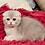 Thumbnail: 1128 Onegin  Scottish fold shorthair male kitten